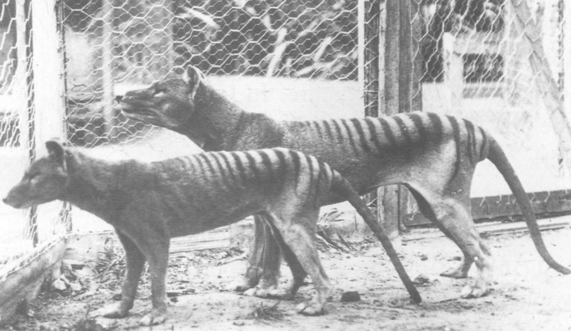 tasmanian_tiger.jpg